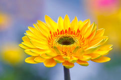 Bello Gerbera immagine stock
