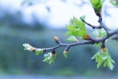 Bello germoglio dell'albero immagini stock libere da diritti