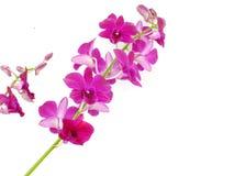 Bello germoglio dell'orchidea isolato su fondo bianco Fotografie Stock