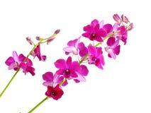 Bello germoglio dell'orchidea isolato su fondo bianco Fotografie Stock Libere da Diritti