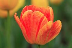 Bello germoglio di fiore Immagini Stock
