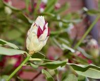 Bello germoglio di fiore rosso del rododendro con le foglie verdi Immagini Stock Libere da Diritti