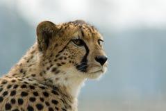 Bello ghepardo Fotografie Stock Libere da Diritti
