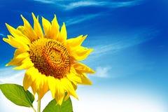 Bello giacimento del girasole di estate Fiori gialli Immagine Stock