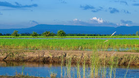 Bello giacimento del riso Fotografie Stock
