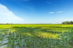 Bello giacimento del riso Fotografia Stock Libera da Diritti