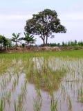 Bello giacimento del riso con gli alberi come priorità bassa Immagine Stock Libera da Diritti
