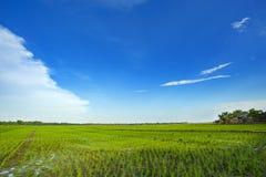 Bello giacimento del riso del cielo Fotografie Stock