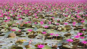 Bello giacimento di fiore del loto al mare rosso del loto Fotografie Stock Libere da Diritti