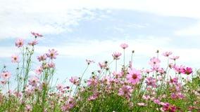 Bello giacimento di fiore variopinto video d archivio