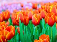 Bello giacimento di fiori arancio del tulipano in primavera Fotografie Stock Libere da Diritti