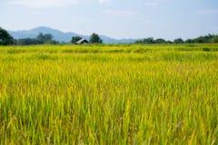 Bello giacimento giallo del riso con l'agricoltore Fotografie Stock Libere da Diritti