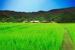 Bello giacimento naturale del riso con cielo blu Fotografia Stock Libera da Diritti