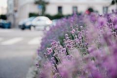Bello giardino della lavanda con lavende fresco e variopinto Fotografia Stock Libera da Diritti