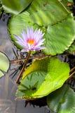 Bello giglio di acqua Fotografie Stock Libere da Diritti
