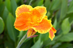 Bello giglio di canna arancio Fotografia Stock