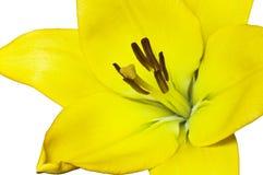Bello giglio giallo Fotografie Stock Libere da Diritti
