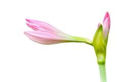 Bello giglio rosa Fotografia Stock