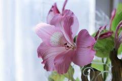 Bello giglio rosa Fiorisce il giglio rosa fotografie stock