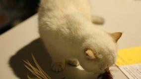 Bello giocattolo bianco dell'animale domestico di fiuto del gattino, stranamente osservante intorno la manifestazione del gatto video d archivio