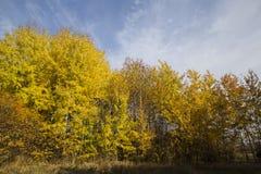 Bello giorno soleggiato di autunno del boschetto e del cielo blu della betulla Fotografie Stock