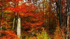 Bello giorno soleggiato nella foresta dorata di autunno fotografia stock libera da diritti