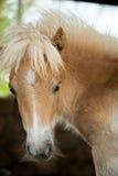 Bello giovane cavallino Fotografie Stock Libere da Diritti