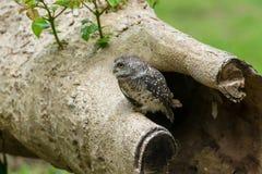 Bello giovane civetta macchiata del gufo uccello immagini stock