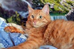 Bello giovane gatto rosso con una sconfitta dell'occhio della cornea diretta fotografie stock libere da diritti