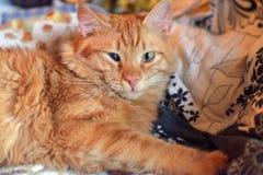 Bello giovane gatto rosso con una sconfitta dell'occhio della cornea diretta immagini stock