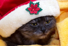 Bello giovane gatto scozzese Fotografia Stock