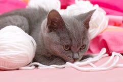 Bello giovane gatto scozzese Fotografie Stock