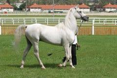Bello giovane stallone arabo grigio di razza Immagini Stock