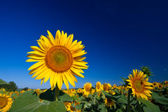 Bello girasole Immagine Stock