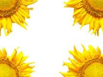 Bello girasole giallo Immagini Stock