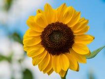 Bello girasole un giorno soleggiato Fotografie Stock Libere da Diritti