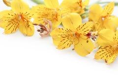 Bello gladiolus giallo su priorità bassa bianca Fotografia Stock Libera da Diritti