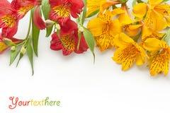 Bello gladiolus su priorità bassa bianca Immagine Stock Libera da Diritti