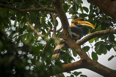 Bello grande bucero pericoloso su un albero in Kaziranga Fotografie Stock Libere da Diritti