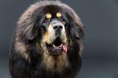 Bello grande cane del mastino tibetano fotografia stock libera da diritti