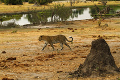 Bello grande gatto Fotografie Stock