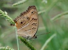 Bello grande lepidottero bianco piacevole Immagine Stock
