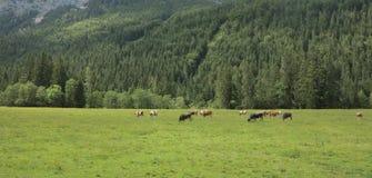 Bello gregge delle mucche nelle valli delle montagne Fotografia Stock Libera da Diritti