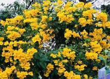 Bello gruppo di fondo del fiore del yrllow Fotografia Stock