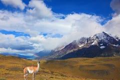 Bello guanaco - lama Fotografia Stock Libera da Diritti