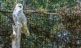 Bello gufo nevoso bianco che sta su un tronco di albero che guarda lato lateralmente e becco aperto fotografia stock libera da diritti