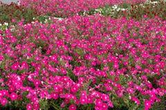 Bello hybrida rosso della petunia delle petunie nel fuoco molle del giardino fotografie stock