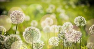 Bello i fiori a forma di dell'allium globo circolare bianco soffiano nel vento Fotografia Stock Libera da Diritti