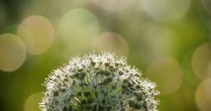 Bello i fiori a forma di dell'allium globo circolare bianco soffiano nel vento Immagine Stock