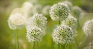 Bello i fiori a forma di dell'allium globo circolare bianco soffiano nel vento Fotografie Stock